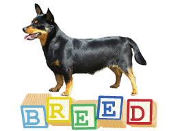 Lancashire Heeler Breed Questions