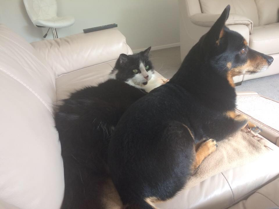 Are Lancashire Heeler good with cats?