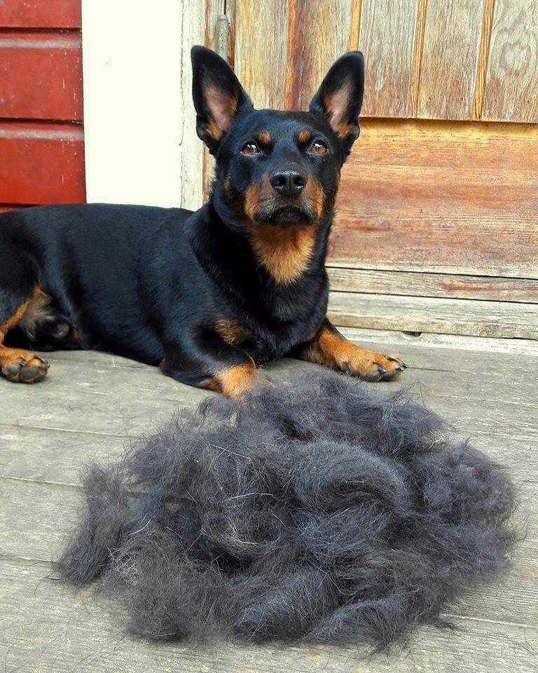 In hot summers more hair than usual may be shed from your Lancashire Heeler