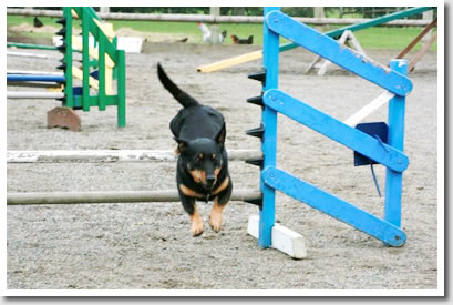 Lancashire Flaxley over the agility jumps