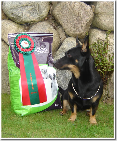 Lancashire Heeler Elsa, Swedish and Norwegian Blood Tracking Champion