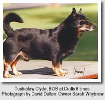 Lancashire Heeler Ch. Tushielaw Clyde