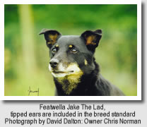 Lancashire Heeler, Featwella Jake the Lad. Tipped ears are icluded in the Lancashire Heeler Breed Standard