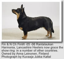 Lancashire Heeler, Fin & N Ch FinW -05 -06 Rantalaukan Harmonia, Lancashire Heelers now grace the show ring in a number of other countries.