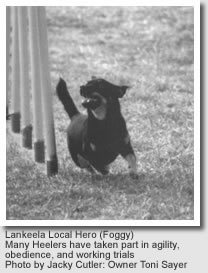 Lancashire Heeler, Lankeela Local Hero (Foggy)