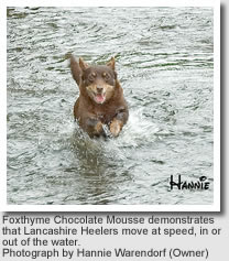 Foxthyme Chocolate Mousse demonstrates that Lancashire Heelers move at speed, in or out of the water.