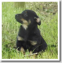 Lancashire Heeler dog puppy currently available