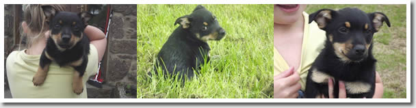 These Lancashire Heeler Puppies are already well socialised and showing their character
