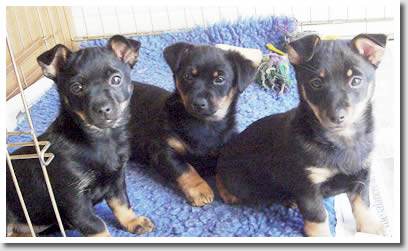 Foveaux Lancashire Heelers have 1 puppy bitch left from this litter