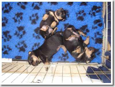 Latest Lancashire Heeler puppies from Foveaux