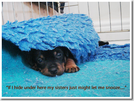 The latest Foveaux Lancashire Heeler Puppy is hiding her light under a blanket!