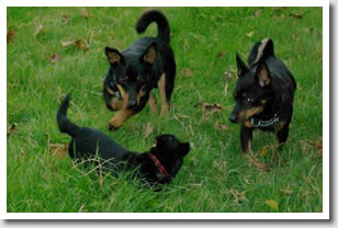 Littlehive Lancasjire Heelers at play
