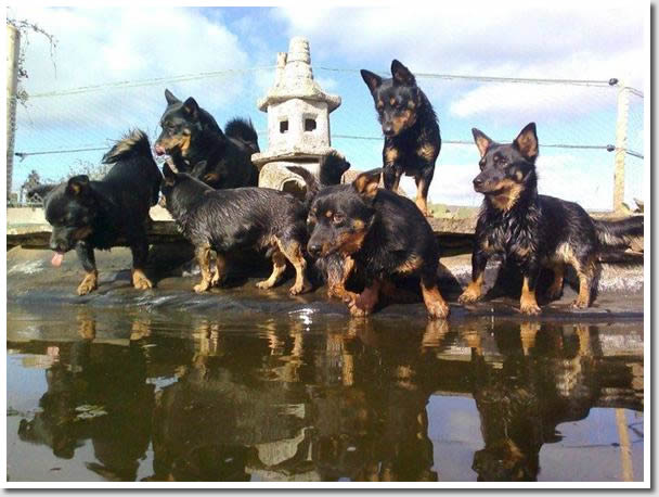 Lancashire Heelers enjoy a home environment