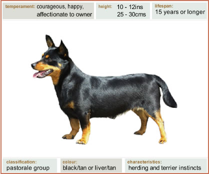 The Lancashire Heeler was originally a drover's dog