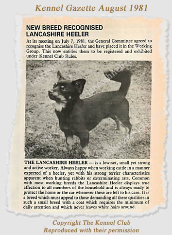 The Lancashire Heeler was recognised by the KC 30 years ago this month