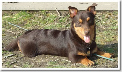 Tipped Eared Lancashire Heelers are perfectly acceptable and often sought after