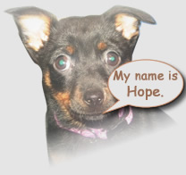 LAncashire Heeler Hope is willing to share her health experiences with other Lancashire Heeler owners