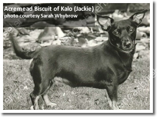 Acremead Biscuit of Kalo was BOB in the first year that Lancashire Heelers had their own classes at Crufts