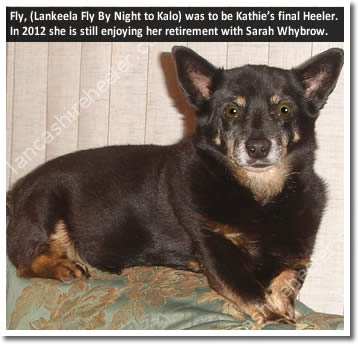 Lankeela Fly by Night to Kalo was to be Kathie's last Lancashire Heeler