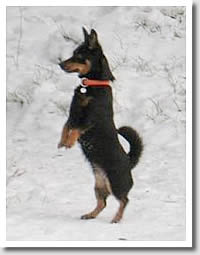 Lancashire Heeler Molla, an International Meerkat whatever the weather!  Owner Marjo Kullberg