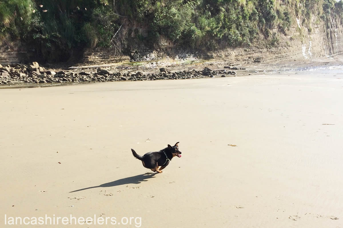 Poppy, jumping for joy at being free to run on Orewa Beach