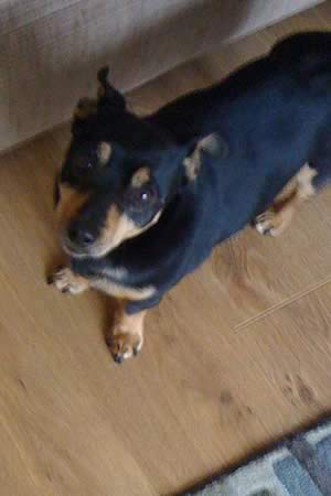 Lancashire Heeler Jasper is looking for a home
