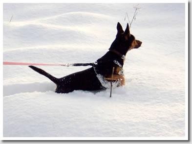 A LAncashire Heeler Cross in almost out of his depth in the snow