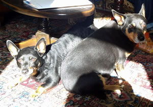 Rex and Rebel, Lancashire Heelers needing homes September 2016