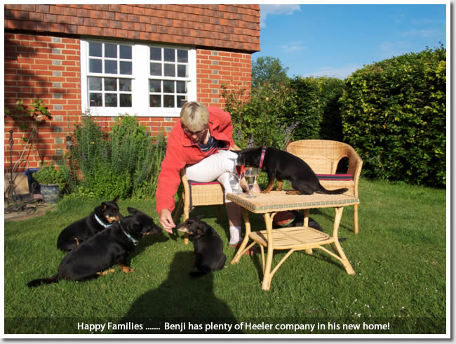 Benji has a complete Lancashire Heeler family and now enjoys their company to the full