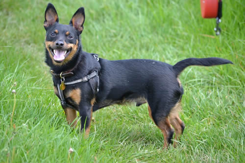 Cody, a Lancashire heeler waiting for the right owner