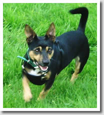 Lancashire Heeler cross Dando deserves a second chance