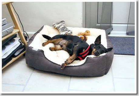 Lancashire Heeler George is clearly very comfortable in his new home!