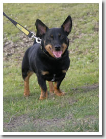Lancashire Heeler, George desperately needs a home