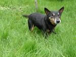 Lancashire Heeler Dennis now has a new forever home