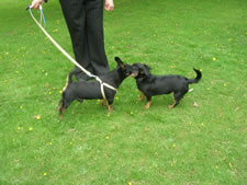 Libby and Fudge, Lancashire Heelers in new homes this year