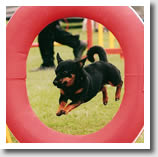 Lancashire Heelers make ideal agility dogs