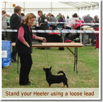 A Lancashire Heeler should stand and walk on a loose lead to show good movement