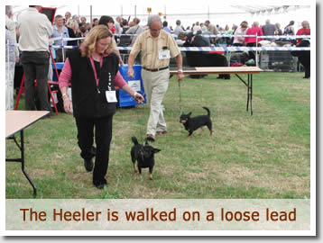 The judge will usually relax the Heelers with a walk around teh show ring before judging the class