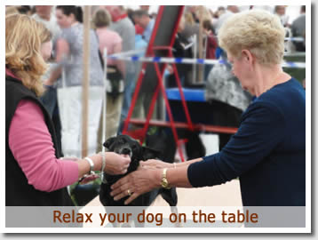It is important to relax your Heeler on the table.  Talk to him / her and offer a treat