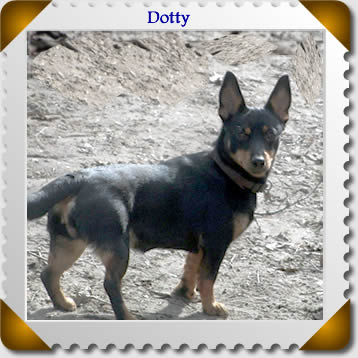 Lancashire Heeler Dotty on her farm in Holland