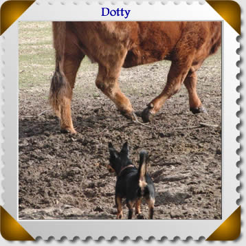 Dotty the Lancashire Heeler gives a steer his marhing orders